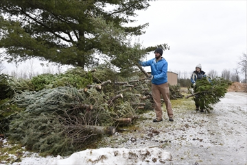 Kent Rundle and Amanda Draves both with Conservation Halton stack donated Christmas trees at Crawford Lake Conservation area, the trees are used for river and stream restoration programs.